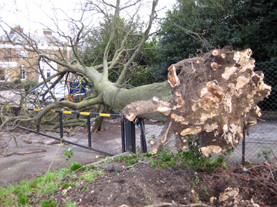 Safety inspection diseased tree