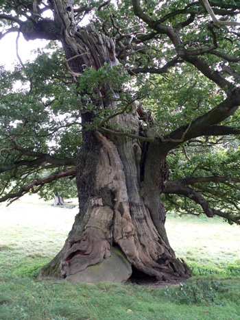 Veteran Oak