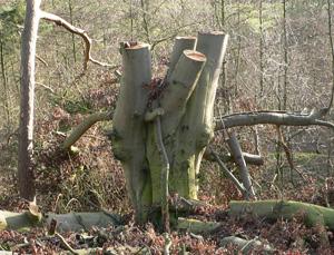 Butchered Tree